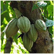 Cacao fruits on tree